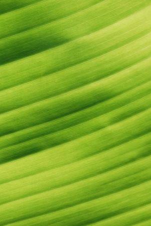 Green Tropical Leaf Veins Close-up Texture (Background)