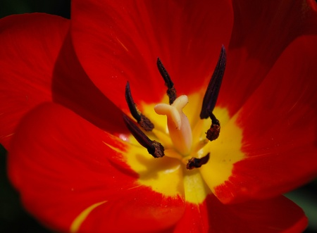 pistil: Single Red Tulip Pollen Pistil Petal Closeup
