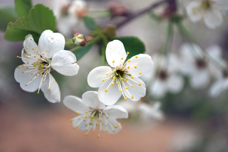 Blooming Flower on Branch of Cherry Tree