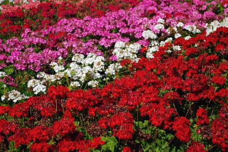 Field of Colored Red, Pink, Purple and White Flower Rows Stock Photo