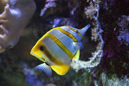 Copperband butterflyfish - Chelmon Rostratus Stock Photo
