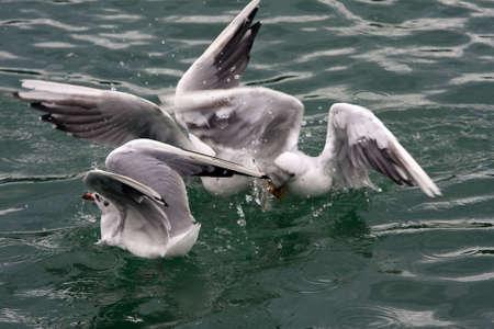 larus: Common Gull - Larus Canus