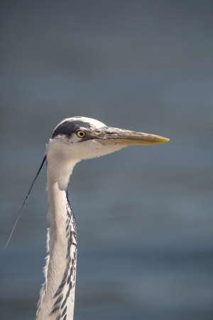 gray herons: Gray Heron - Ardea Cinerea