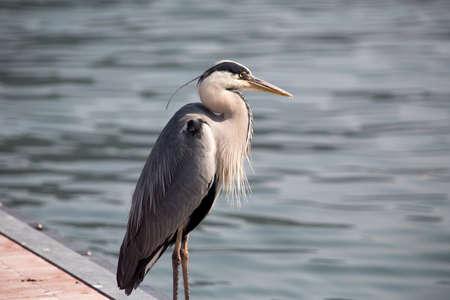Gray Heron - Ardea Cinerea