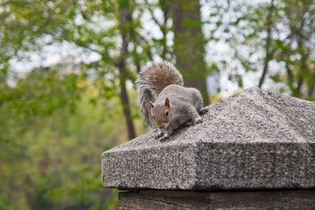 sciurus: Gray Squirrel - Sciurus carolinensis Stock Photo