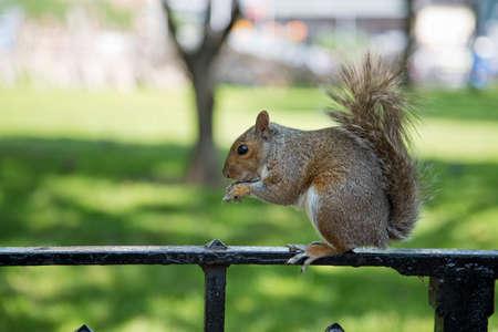 sciurus: Gray Squirrel - Sciurus Carolinensis