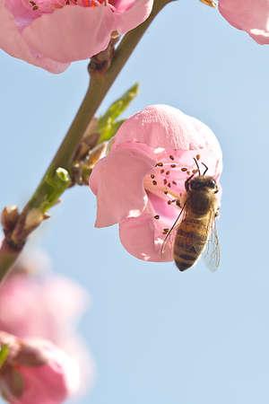 natures: European Honey Bee - Apis mellifera Stock Photo