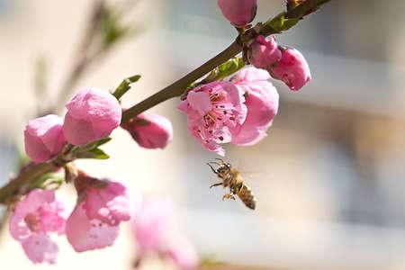 European Honey Bee - Apis mellifera Stock Photo