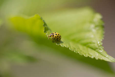 Scarce Seven-spotted Ladybird - Ladybug magnificent