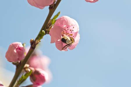 mellifera: European Honey Bee - Apis mellifera Stock Photo