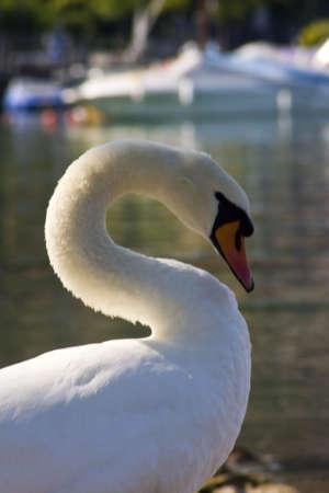 cygnus olor: Mute Swan - Cygnus olor Stock Photo