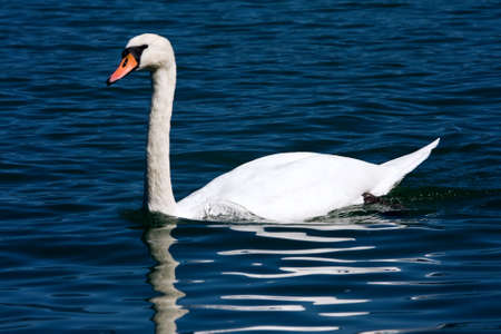 Mute Swan - Cygnus olor Stock Photo