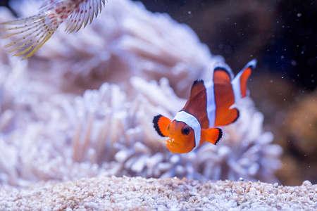 Ocellaris Clownfish - Amphiprion Ocellaris