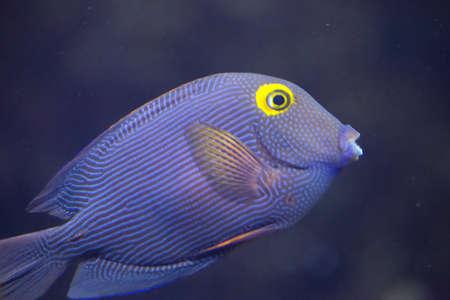 Spotted surgeonfish - Ctenochaetus strigosus