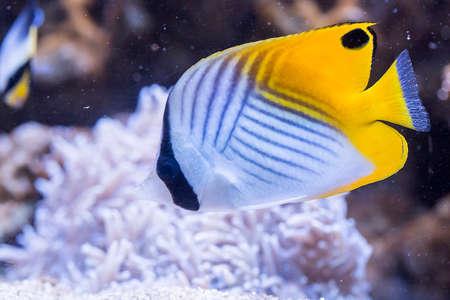 butterflyfish: Threadfin butterflyfish - Chaetodon Auriga