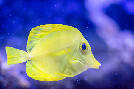 flavescens: Yellow Tang - Zebrasoma flavescens