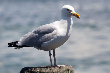 High speed photo of a Common Gull (Larus Canus)