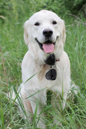 Golden Retriever sitting in the grass photo