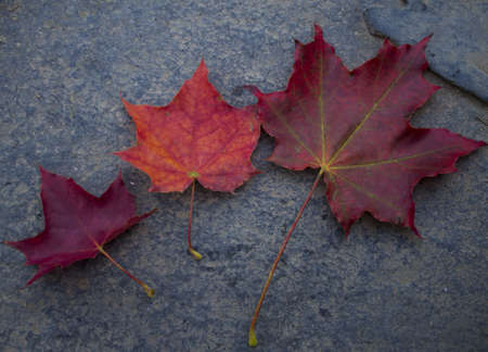 red maple leaves on a wet road photo