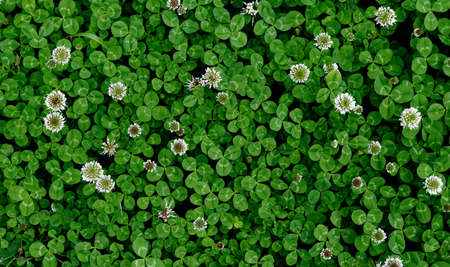 A patch of clover spotted with white flowers