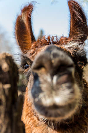 portrait of a llama in a pen that approaches the camera in a curious way Banco de Imagens