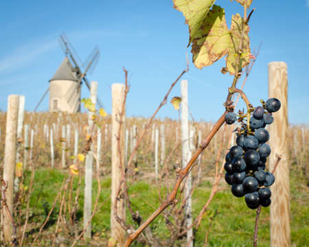 Last bunch of grapes in vineyard with old windmill, Moulin a Vent, Beaujolais, France