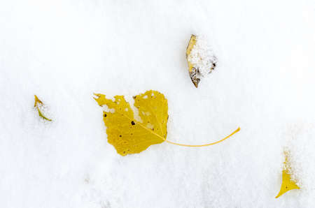 Some yellow leaves on snow at beginning of winter