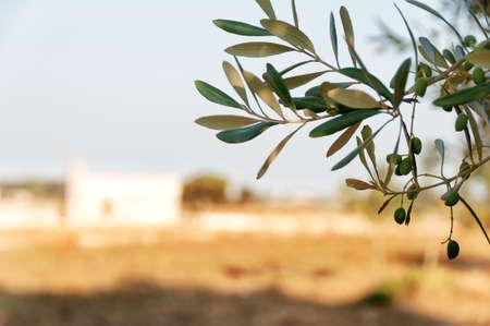 vegetal: Olives in Salento Stock Photo