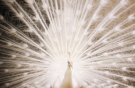 ble: Portrait of beautiful white peacock with feathers out and full of frame Stock Photo