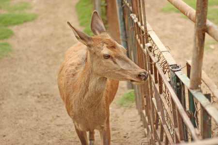 baby deer: Beautiful baby deer in cage