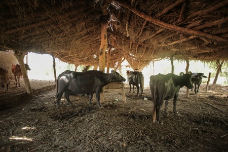 Buffalo Farm - Buffalos Are Standing In A Farm In A Sunny Day Under The Shade In Sindh Pakistan