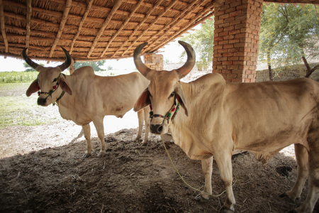 White Bulls With Big Horns Standing In A Farm In Sindh, Pakistan, Reklamní fotografie