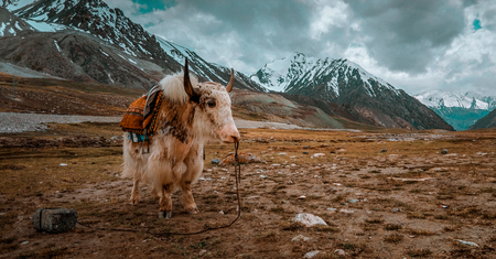 Beautiful Yak in the mountains, Near Pak China Border, Khunjerab Pass Foto de archivo - 121491342