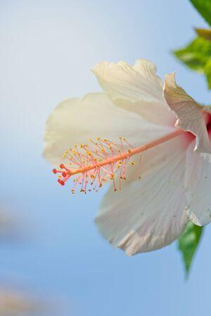 White Amaryllis Flower Against Blue Sky. Close-up.