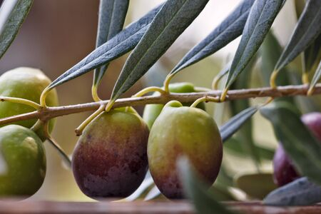 Detail of olive tree branch. Closeup of green olives fruits and leaves with selective focus and shallow depth of field, outdoors