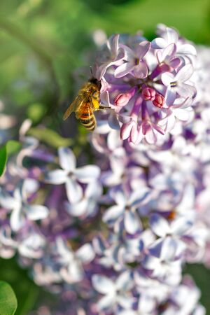 Bee collecting nectar in a purple lilac flower close-up. Style artistic fantastic beautiful nature image. Bee macro close up summer natural image Banco de Imagens