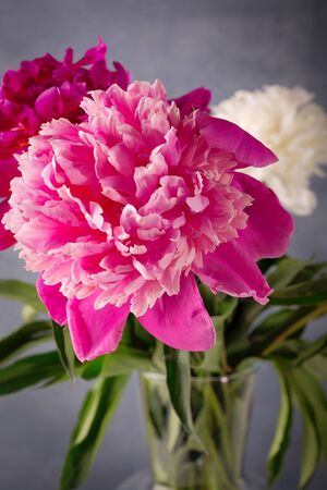 Beautiful white, purple and pink peonies flowers on the table. Close-up.