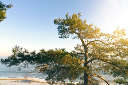 The top of a large pine tree against a bright blue sky in the fresh air natural environment concept