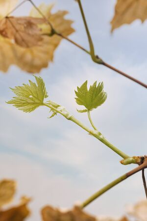 Grape branch with fresh green leaves and old dry yellow leaves. Against the background of blue sky and white clouds.