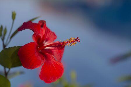 Red amaryllis close up. Bright sunshine. Natural light. Banco de Imagens