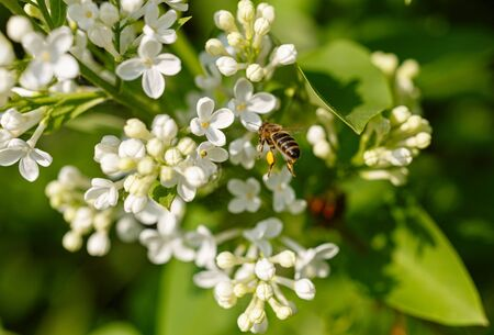 Honey bee collects pollen on a white lilac flower. Spring sunny day.