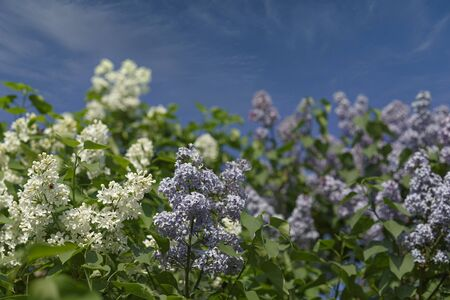 White and purple lilac against the blue sky and white clouds.