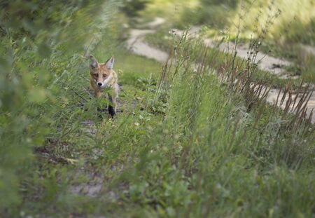 Red-haired young fox goes next to the forest road. An unexpected meeting with a wild animal.