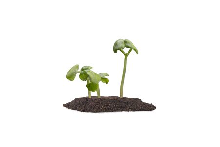 Sprouts of basil in the ground. Isolated white background. Gardening. Agriculture.