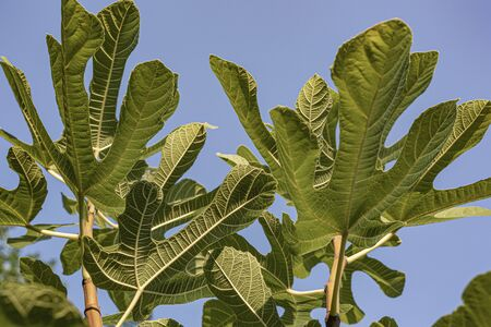 Figs on the branch of a fig tree. Bright sunny day.
