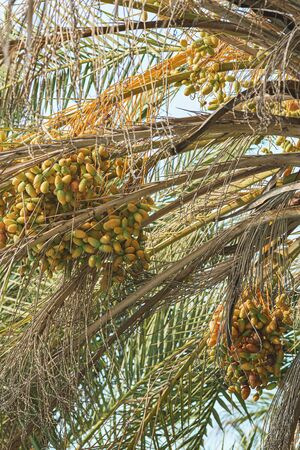 Brown & yellow date between the palm tree leafs. Against the blue sky
