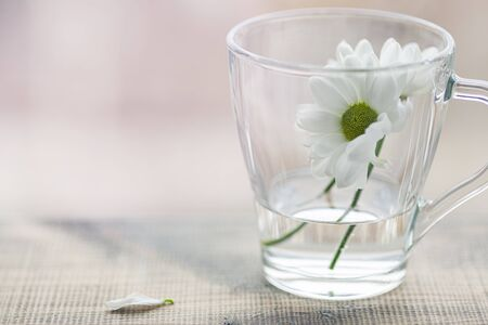 White chrysanthemum with a green core, and beautiful petals. Close-up. White flowers. Archivio Fotografico