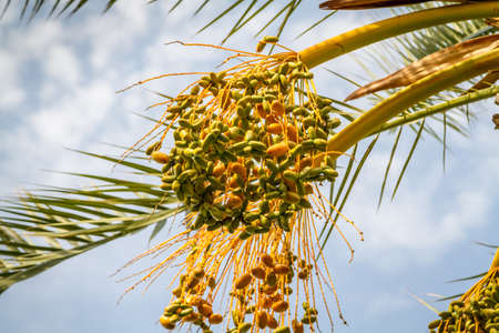 unripened: Bunches of ripening dates on blue sky background
