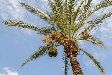 israel farming: Date palm with ripening bunches of dates on blue sky background