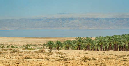 ein: Coast of the Dead Sea, grove of date palms, Israel Stock Photo